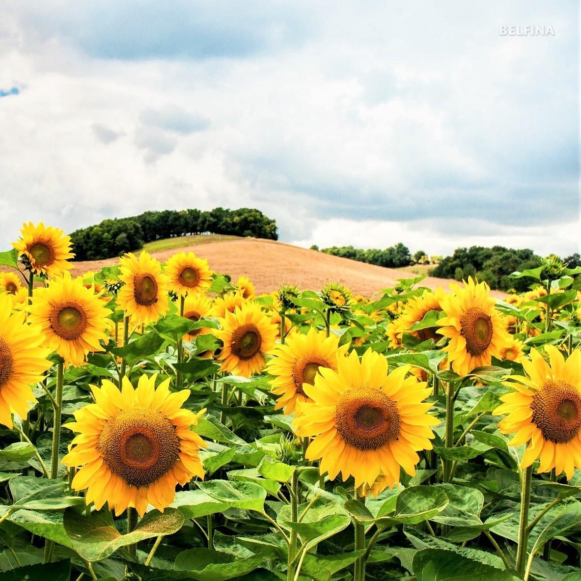 Sonnenblumen Anbau